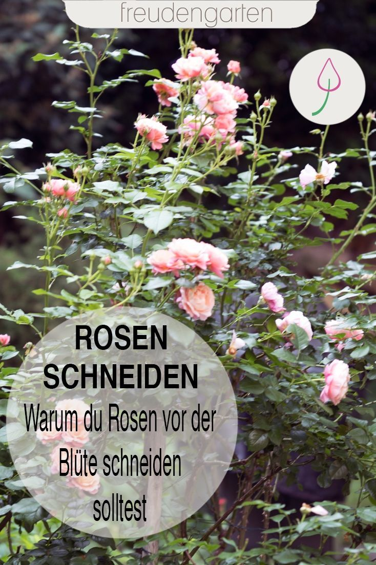 Photo of Rosen schneiden im Sommer